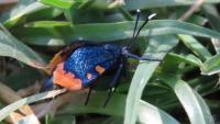 Cebysa leucotelus Bag Moth Female D Andrews 2