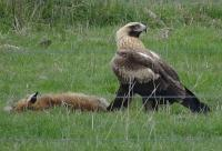 Wedge-tailed Eagle with fox