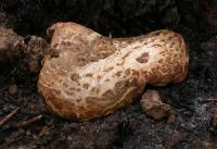 Laccocephalum mylittae Native Bread