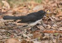 Willie Wagtail with butterfly