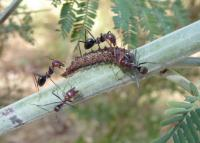 Hairstreak Butterfly larva with attendant ants