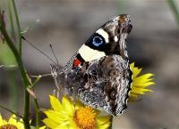Admiral, Yellow - Vanessa itea (Nymphalidae) Underwing N Blair
