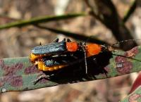 Soldier Beetle - Chauliognathus tricolor (Cantharidae)