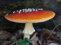 Amanita muscaria Fly Agaric