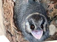 Owlet-nightjar Aegotheles cristatus