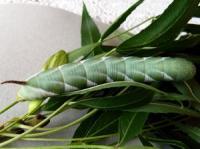 Hawk Moth larva Sphingidae  family