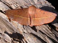 Oeonchrominae vinaria Pink Bellied Moth