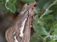 Abantiodes sp  Swift or Ghost  Moth