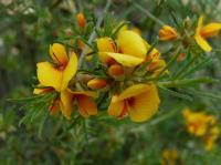 Pultenaea laxiflora  Loose-flower Bush-pea