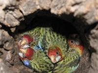 Eastern Rosella chicks 3 weeks old and ready to fledge