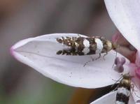 Glyphipterix meteora Sedge Moth