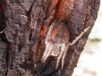 Eriophera pustulosa