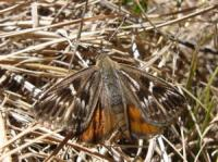 Synemon plana  Golden Striated Sun- Moth
