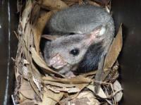 Brush-tailed Phascogale or Tuan  Phascogale tapoatafa