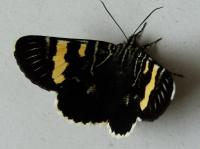 Phalaenoides glycinae   Vine Moth