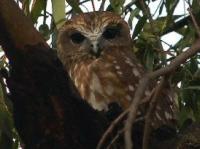 Boobook Owl Ninox novaeseelandiae