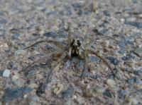 Wolf spider Lycosa sp