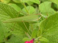 Green Katydid Caedicia simplex