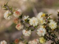 Acacia gunnii