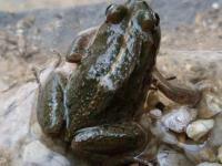 Spotted Marsh Frog  Limnodynastes tasmaniensis Aug