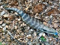 Blue-tongued Lizard Tiliqua scincoides