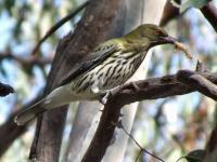 Olive-backed Oriole Oriolus sagittatus