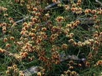 Daviesia genistifolia Broom Bitter-pea