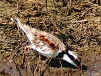 Black-fronted Dotterel   Chardrius melanops