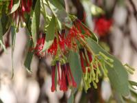 Amyema miraculosa ssp boormanii  Fleshy Mistletoe