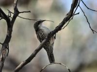 White-throated Treecreeper  Cormorbates leucophaeus