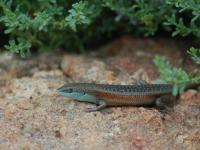 Southern Rainbow Carlia tetradactyla