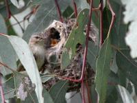 Weebill at nest