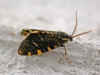 Cebysa leucotelus Male P Marriot