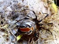 Redback Spider Latrodectus hasselti