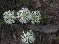 Pimelia linifolia Slender Rice-flower