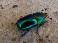 Lamprima latreillei  Stag Beetle