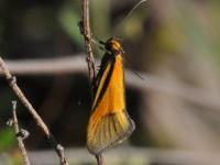 Philobota arabella