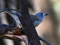 Grey Shrike-thrush Colluricincla harmonica