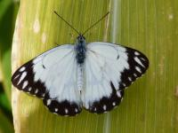 Caper White ssp teutonia pale form Male