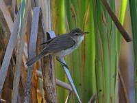 Clamorous Reed-warbler Acrocephalus stentoreus