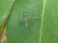 Heteropsilopus sp (Dolichopodidae)