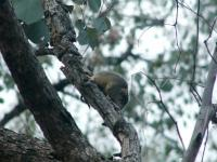 Antechinus Yellow-footed  Antechinus flavipes