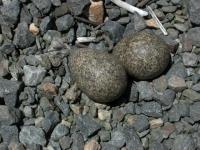 Black-fronted  Dotterel eggs  Chardrius melanops