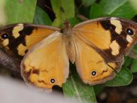 Common Brown Heteronympha merope Female