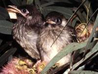 Regent Honeyeater  fledglings