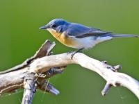 Satin Flycatcher Female
