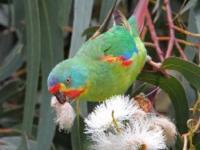Swift Parrot Lathamus discolor