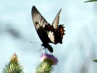 Butterfly Papilio anactus