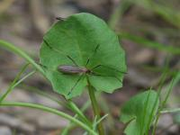 Crane Fly sp