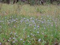 Brunonia australis group Blue Pincushions